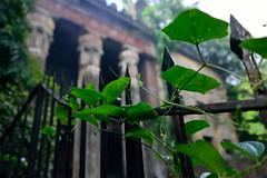 Green and grey (sanat_das) Tags: kolkata baghbazar basubati tender old creeper building gate d800 28300mm