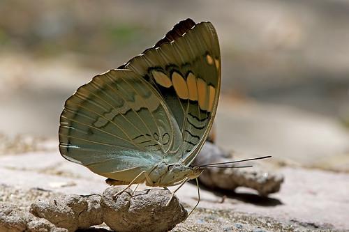 Euthalia patala - the Grand Duchess