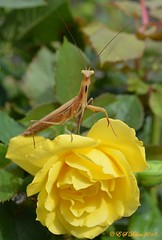 September 2, 2018 - A Praying Mantis strikes a pose on a rose. (Ed Dalton)