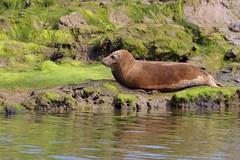Common Seal 116002 (wildlifetog) Tags: canon coast coastal common seal nature newtown isleofwight uk mbiow martin blackmore britishisles wild wildlife england european eos7dmkii