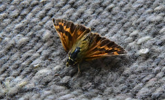 Moth (D70) Tags: nikon d750 28300mm f3556 ƒ200 3020mm 1100 12800 moth 241365 northgaliano britishcolumbia canada