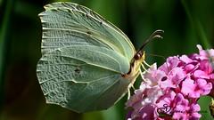 "farfalla  - ""Cedronella"" (Gonepteryx rhamni) (Gigi Sanna) Tags: ngc farfalla butterfly"