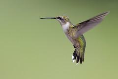 Ruby-throated Hummingbird (Greg Lavaty Photography) Tags: rubythroatedhummingbird archilochuscolubris texas september sugarland ftbendcounty flight immature male outdoors bird nature wildlife