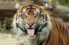 sumatran tiger Burgerszoo JN6A3350 (j.a.kok) Tags: tijger tiger sumatraansetijger sumatrantiger pantheratigrissumatrae animal asia azie sumatra mammal zoogdier dier predator kat cat burgerszoo burgerzoo