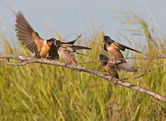 Fueling up (N.Clark) Tags: barnswallowhirundorustica parentfeedingfledgling fledgling oakhammockmarsh birdsofmanitoba wildbirds avian birdwatching