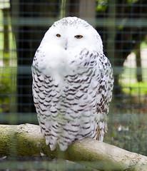Snowy Owl (Patrick Costello) Tags: snowyowl buboscandiacus bird birdofprey hawkconservancy andover