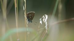 Common Blue (Nick:Wood) Tags: nature wildlife butterfly insect commonblue polyommatusicarus cuttlepoolnaturereserve templebalsall warwickshirewildlifetrust
