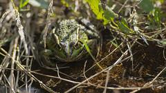 Grenouille rieuse (Philippe RICHARD 37) Tags: france indreetloire beaulieulèsloches grenouille rieuse pelophylax ridibundus amphibiens famille ranidae
