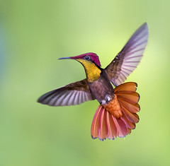 Ruby Topaz Hummingbird in flight dancing in the air, Trinidad. (pedro lastra) Tags: chrysolampis mosquitus flight hummingbird macro