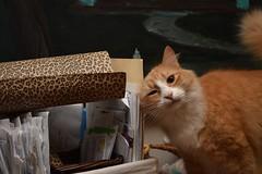 Jimmy stakes his claim to the leopard-print wallpaper. (rootcrop54) Tags: jimmy orange ginger tabby male leopard print leopardskin wallpaper neko macska kedi 猫 kočka kissa γάτα köttur kucing gatto 고양이 kaķis katė katt katze katzen kot кошка mačka gatos maček kitteh chat ネコ