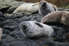 Common Seals Basking - IMG_7448 (406highlander) Tags: commonseal seal phocavitulina dunvegan skye scotland lochdunvegan marine mammal animal sigma120400mmf4556apodgos harbourseal harborseal basking rock canoneos1300d