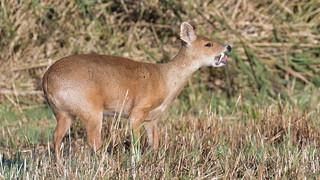 Chinese Water Deer (image 2 of 2)