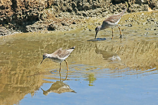 Lesser Yellowlegs 18-0806-0761