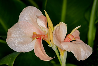 Pink Canna Lily