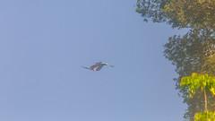 Guyane Amazonie (alain_did) Tags: oiseaux nature ballade naturallight natural naturelover naturepics naturephoto aramacao amazonia guyanefrancaise visiterlaguyanerlaguyane