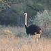 Struthio camelus (Common Ostrich) - male