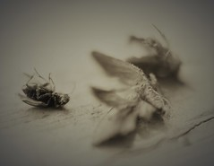 never die alone (Twila1313) Tags: bugs insects fly moth legs wings dead die death sepia aged monochrome panasonicgf1 panasonic20mmf17