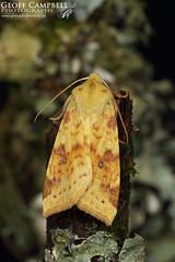 The Sallow (Cirrhia icteritia) (gcampbellphoto) Tags: the sallow cirrhia icteritia moth insect macro nature wildlife county antrim northern ireland gcampbellphoto leaf forest