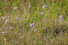 vedovine a Torresina (fotomie2009) Tags: flora fiore flower wild wildflower wildflowers nature spontaneous spontaneo vedovina knautia arvensis ambretta sylvestre