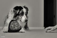 34/52 The Games Humans Play (Jasper's Human) Tags: 52weeksfordogs 52wfd aussie australianshepherd dog oddball hand