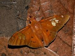 Euriphellus euribates (LPJC) Tags: lakesoledad arcc peru 2017 lpjc butterfly skipper euriphelluseuribates