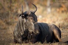 Blue Wildebeest (leendert3) Tags: leonmolenaar southafrica krugernationalpark wildlife nature mammals bluewildebeest ngc npc