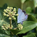 ovipositing holly blue on ivy