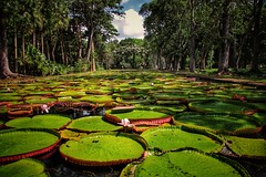 Pampelmouses Garden.... (D.Purkhart) Tags: pampelmoussegarden flowers seerosen mauritius botanicalgarden