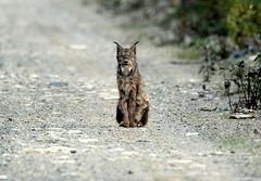 Lynx (Marie-Helene Levesque) Tags: abitibi valdor eastsullivan east lynx mariehélène mariehelene