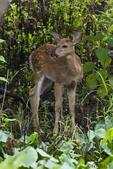 081818153202asmweb (ecwillet) Tags: deer fawn wildwoodparkharrisburgpa nikon nikond500 ecwillet ericwillet nikon200500f56