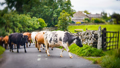 Just for a change! (judy dean) Tags: judydean 2018 lensbaby northpennines lakedistrict cows farm road hff