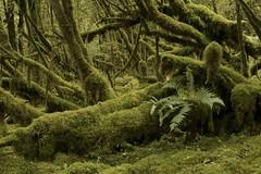 Forêt pluviale tempérée, front nord-pyrénéen, Béarn. (G. Pottier) Tags: rain rainforest temperaterainforest forêt forêtpluviale forêtombrophile ombrophile pluie précipitation moss mousse fern fougère sousbois vert green bois humidité moisture océanique atlantique climatatlantique béarn pyrénéesatlantiques nouvelleaquitaine gascogne vasconie afnikkor50mmf18d wasconia rainfall forêtpluvialetempérée chlorophylle photosynthèse puitsdecarbone bryophyte d850 regenwald bosquehúmedo