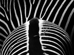 Zebra (ingrid eulenfan) Tags: tier animal zebra schw schwarzweis blackandwhite streifen strip 7dwf sonyalpha6000 sonye55210mm