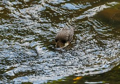 A Week of Wildlife July 2018 357 - Dipper dipping (Mark Schofield @ JB Schofield) Tags: lapwing chick grouse pheasant birds nesting curlew owl hare leveret jackrabbit oyster catcher wildlife heron short eared hunting kite buzzard kestrel goldfinch pennine way south pennines peak national park trust hills moors vallies valley reservoir water peat moorland bog moss agriculture yorkshire huddersfield wessenden head pule marsden meltham digley holme march haigh west nab deer river canal