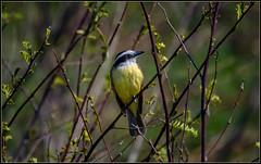 Benteveo (Totugj) Tags: nikon d7500 sigma 150600mm benteveo pájaros aves argentinas argentina buenos aires reserva ecológica costanera sur