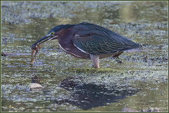 The Frog Days of Summer 6601 (maguire33@verizon.net) Tags: frankgbonelliregionalpark greenheron heron wetlands wildlife sandimas california unitedstates us