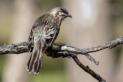 Red Wattlebird 2018-09-04 (7D_182A8577) (ajhaysom) Tags: canoneos7dmkii tamron150600mmf563divcusdg2 melbourne australia woodlandshistoricpark greenvale australianbirds redwattlebird anthochaeracarunculata