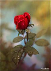 Garden Flowers... (angelakanner) Tags: canon70d lensbaby velvet56 bokeh garden longisland closeup