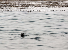 Gibson Beach - Riserva naturale statale Point Lobos (raffaele pagani) Tags: pointlobos pointlobosstatenaturalreserve riservanaturalestatalepointlobos smca areadiconservazionemarinastatale statemarineconservationarea areamarinaprotetta riservamarina marineprotectedarea marinereserve carmel carmelbythesea montereycounty montereypeninsula cabrillohighway highway1 costa pacificapacificcoast oceanopacifico pacificocean california unitedstates canon mare paesaggio mist fog foschia baia bay roccia oceano