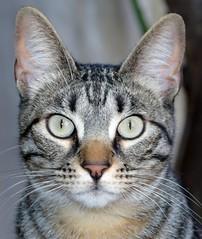 kira (ale per) Tags: nikon 35 mm d5600 cat chat kitten kity rose rosa romantic sprint flowers katze kissa kato kocka γάτα phisi mačka kočka macska köttur qattus pisică kot мачка cath قط گربه بلی बिरालो แมว mushuk বিড়াল 고양이 猫 貓 ကွောငျ kedi paka pusa kucing mascota animal tabby oddeyes