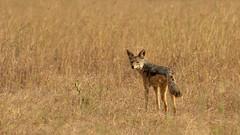 Nairobi-Nationalpark 030 (ovg2012) Tags: blackbackedjackal canismesomelas kenia kenya nairobinationalpark safari schabrackenschakal