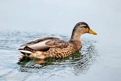 Duck Big Sky (leon_roland) Tags: bigsky ducks wyoming yellowstone