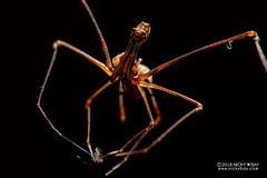Assassin spider / Pelican spider (Eriauchenius sp.) - ESC_0007 (nickybay) Tags: macro africa madagascar andasibe pelican spider assassin archaeidae eriauchenius backlighting