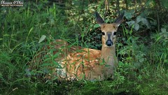 When the light hits you in just the right spot (Shannon Rose O'Shea) Tags: shannonroseoshea shannonosheawildlifephotography shannonoshea shannon whitetaileddeer deer fawn spottedfawn animal green grass leaves wildwoodlake harrisburg pennsylvania nature wildlife art photo photography photograph wild wildlifephotography wildlifephotographer wildlifephotograph odocoileusvirginianus closeup close colorful camera canon canoneos80d canon80d eos80d 80d canon100400mm14556lisiiusm flickr wwwflickrcomphotosshannonroseoshea fauna femalephotographer girlphotographer womanphotographer shootlikeagirl shootwithacamera throughherlens