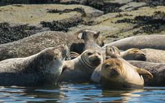 Atlantic Sea Lions (ap0013) Tags: sealion sea lion marine animal nature wildlife portland maine portlandmaine me sealions