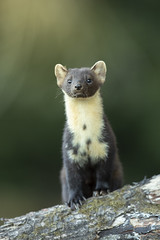 Scottish pine marten, Black Isle. Explored 27/08/18 #29 (Thomas Winstone) Tags: mustelids mustelidae tail fur forestry woods woodland canonuk canon 300mm28mk2 mammal mammals uk countryside outdoor forest wild wildlife nature canon1dxmark2 3lt 3leggedthing thomaswinstonephotography bbc springwatch bbcspringwatch nationalgeographic pineten pinemarten scotland blackisle