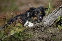 In Nature (Flemming Andersen) Tags: yatzy bordercollie dog nature outdoor