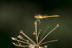 (Jérôme_M) Tags: canon eos 600d nature insecte faune wildlife natgeo libellule bokeh sigma proxy 150600 aquitaine landes seignanx lemondedelaphoto saintmartindeseignanx
