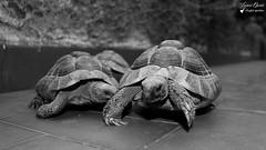 Tortues (Laurent Quérité) Tags: gard pontsaintesprit animaux tortues blackwhite france noiretblanc canonfrance canonef100400mmf4556lisusm canoneos7d