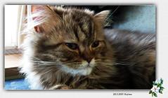 009954 2015 20 Mei Kajima (mensinkr) Tags: kajima cat kater animal huisdier pets indoor mammals persiancat tabby longhair lovely ourcats